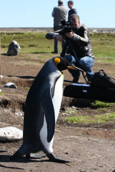 Pinguins filmen op de Falkland Eilanden of Islas Malvinas in 2013